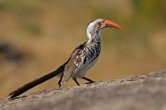 hornbill Rosso-fatturato fotografia stock libera da diritti