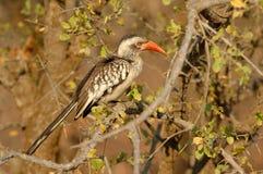 Hornbill Rosso-Fatturato del sud Immagini Stock