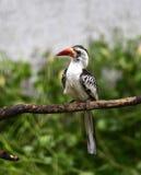 hornbill Rouge-affiché Photographie stock