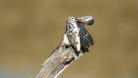 hornbill Rouge-affiché Image libre de droits