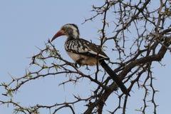 hornbill Rouge-affiché Images stock