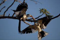 hornbill Rouge-affiché, Namibie Photos stock