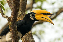Hornbill Royalty Free Stock Images