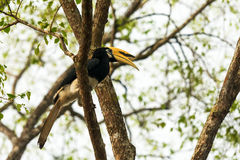 Hornbill. Sitting on the branch Royalty Free Stock Image