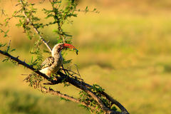 Hornbill som äter en bönsyrsa Royaltyfri Fotografi