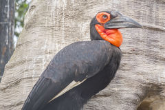 Hornbill southern ground in a tree, Bucorvus leadbeateri Royalty Free Stock Photography