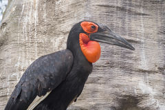 Hornbill southern ground in a tree, Bucorvus leadbeateri Stock Images