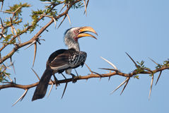 Yellow-billed Hornbill Stock Photo