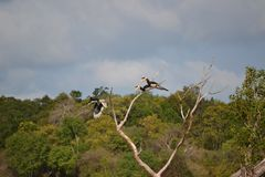 Hornbill in Sri Lanka een grote bladspecies royalty-vrije stock foto