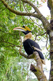 Hornbill stand on the branch Stock Images