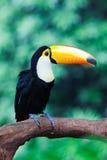Hornbill steht auf dem Kabel Lizenzfreie Stockbilder