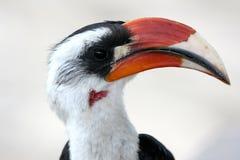 Hornbill. Tanzania Afrika arkivfoto