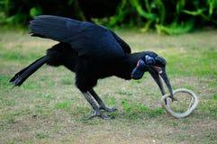 Hornbill à terra Abyssinian Foto de Stock Royalty Free