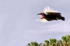 Hornbill a terra in mosca Fotografia Stock Libera da Diritti