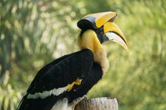 A hornbill. In Thailand with black and yellow color Stock Photos