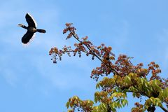 Hornbill or Toocan Birds flying on top of the tree against the s Royalty Free Stock Photos