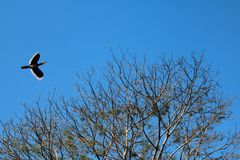 Hornbill or Toocan Birds flying on top of the tree against the s Stock Image
