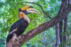 Hornbill on the tree Stock Images