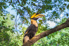 Hornbill on the tree Royalty Free Stock Images