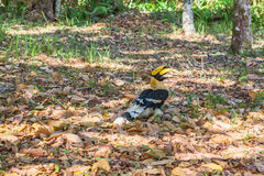 Hornbill on the tree Stock Photography