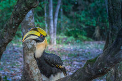Hornbill on the tree Stock Photos