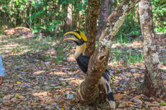 Hornbill on the tree Royalty Free Stock Photo