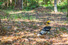 Hornbill on the tree Royalty Free Stock Photography