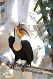 Hornbill tressé Images libres de droits