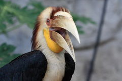 Hornbill tressé Photo stock