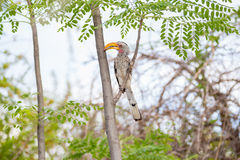 Hornbill in a tropical paradise Stock Photo