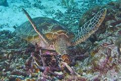 Green Sea Turtle off Balicasag Island, Panglao, Bohol, Philippines Royalty Free Stock Image
