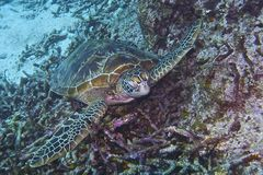 Green Sea Turtle off Balicasag Island, Panglao, Bohol, Philippines Royalty Free Stock Image