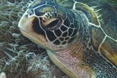 Green Sea Turtle off Balicasag Island, Panglao, Bohol, Philippines Royalty Free Stock Images