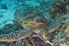 Green Sea Turtle off Balicasag Island, Panglao, Bohol, Philippines Stock Image