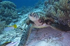 Green Sea Turtle off Balicasag Island, Panglao, Bohol, Philippines Royalty Free Stock Photography