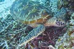 Green Sea Turtle off Balicasag Island, Panglao, Bohol, Philippines Stock Photo