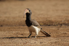 Hornbill van Monteiro Stock Foto's