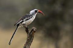 Hornbill Vermelho-faturado Fotografia de Stock Royalty Free