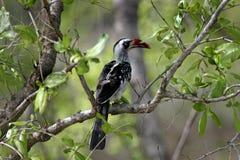 Hornbill Vermelho-faturado 34 Fotografia de Stock Royalty Free
