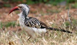 Hornbill Vermelho-faturado africano Imagens de Stock