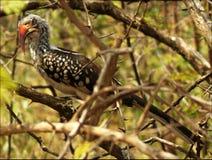 Hornbill Vermelho-faturado do sul fotos de stock