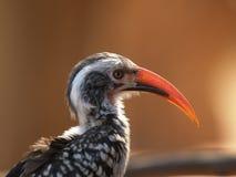 Hornbill vermelho, no proflie foto de stock
