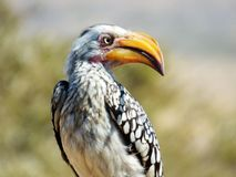 Hornbill. This  hornbill was  photographed  whilst on  the  lookout  for  insects  to  eat Royalty Free Stock Image