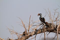 Hornbill or yellowbilled Hornbill in the savannah. A Hornbill or yellowbilled Hornbill in the savannah royalty free stock photos