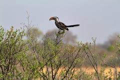 Hornbill or yellowbilled Hornbill in the savannah. A Hornbill or yellowbilled Hornbill in the savannah royalty free stock photo