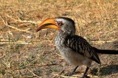 Hornbill or yellowbilled Hornbill in the savannah. A Hornbill or yellowbilled Hornbill in the savannah stock photo
