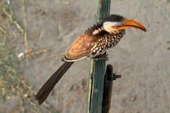 Hornbill or yellowbilled Hornbill in the savannah. A Hornbill or yellowbilled Hornbill in the savannah stock images