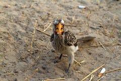 Hornbill or yellowbilled Hornbill in the savannah. A Hornbill or yellowbilled Hornbill in the savannah stock image