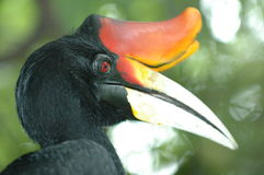Hornbillen Royaltyfri Fotografi