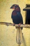 Hornbillengelska som fågeln parkerar Royaltyfri Fotografi